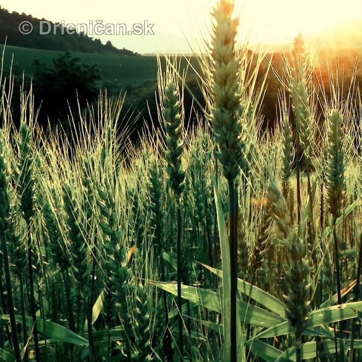 Este stale zelene rzno_17