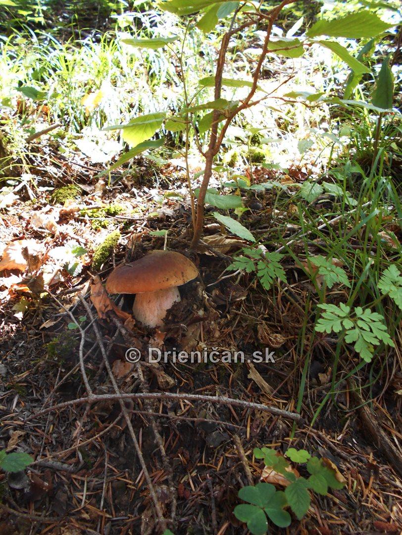Hriby v nasich lesoch_05