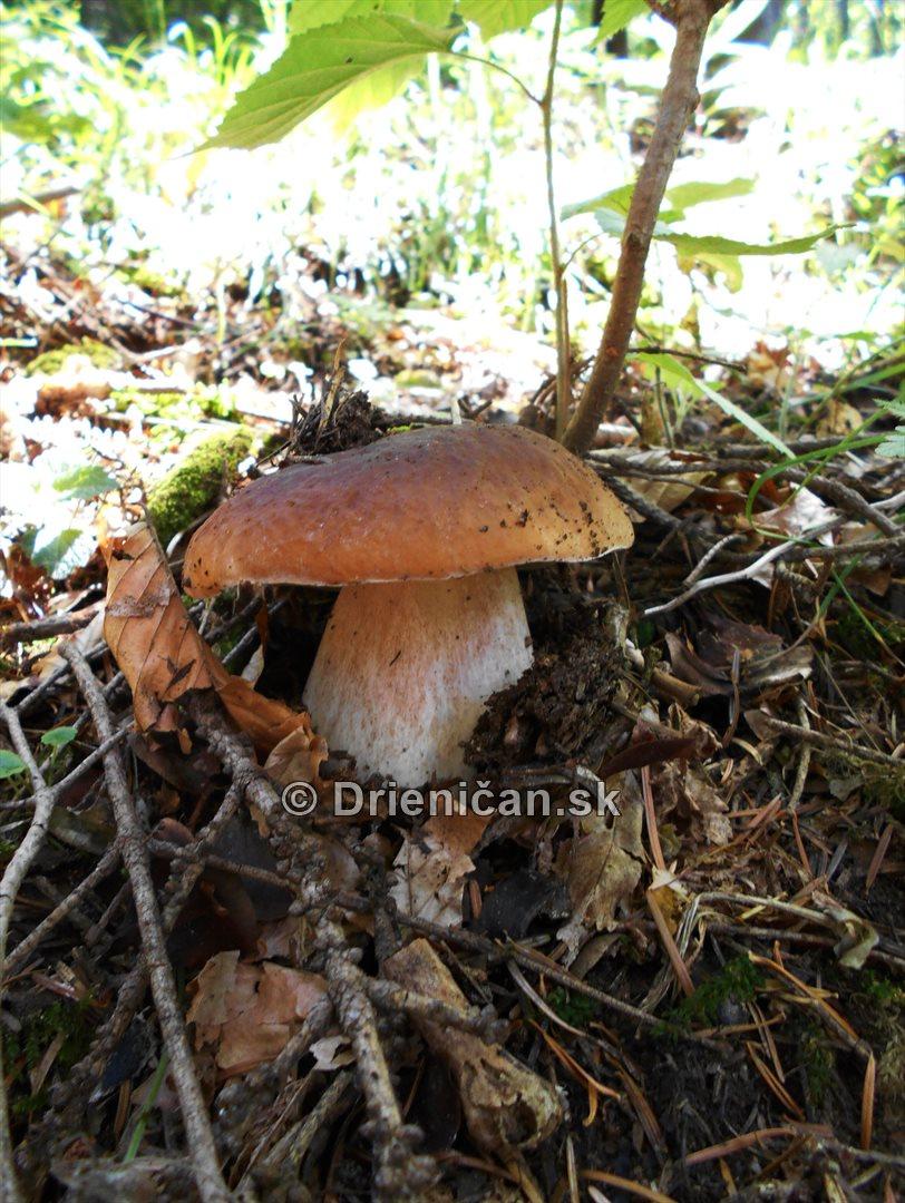 Hriby v nasich lesoch_06