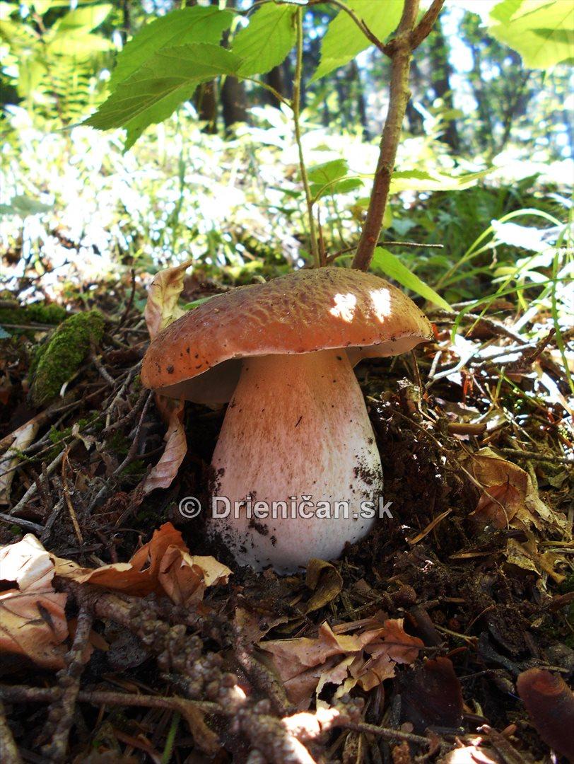 Hriby v nasich lesoch_07