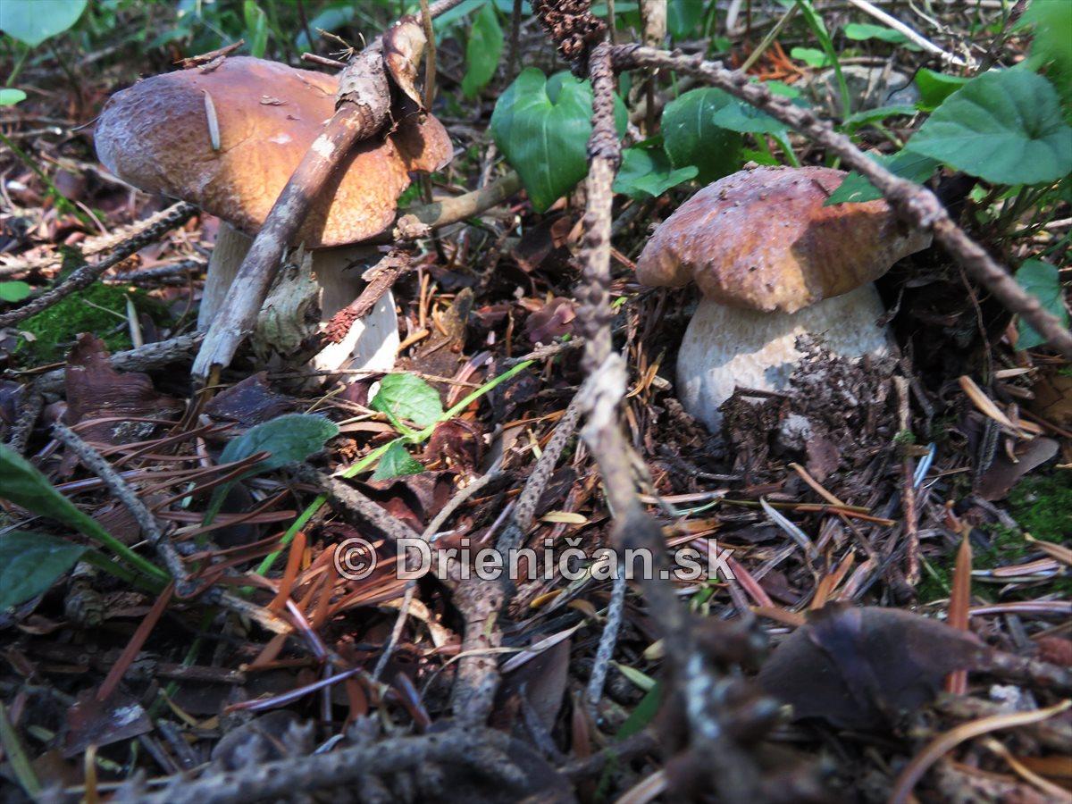 Hriby v nasich lesoch_28