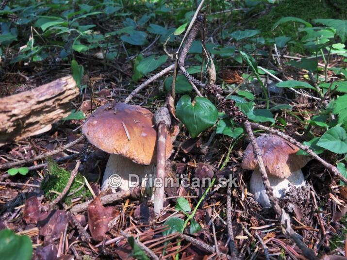 Hriby v nasich lesoch_30
