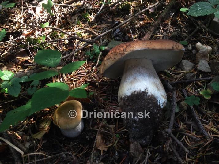 Hriby v nasich lesoch_35