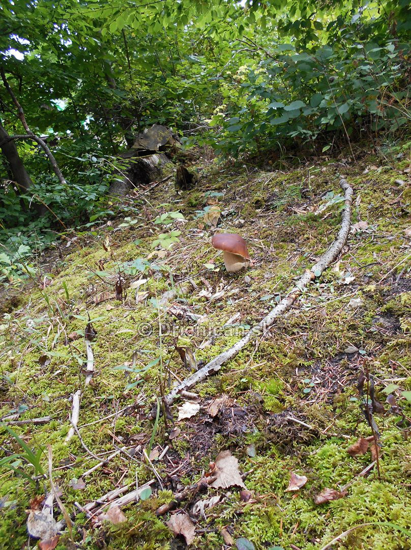 tri hriby v lese zelenom_09