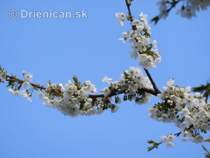 kvet ceresne_03