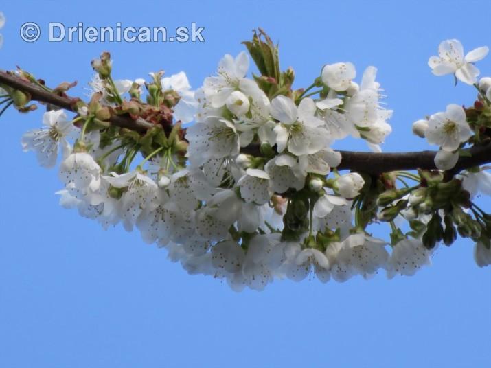 kvet ceresne_04