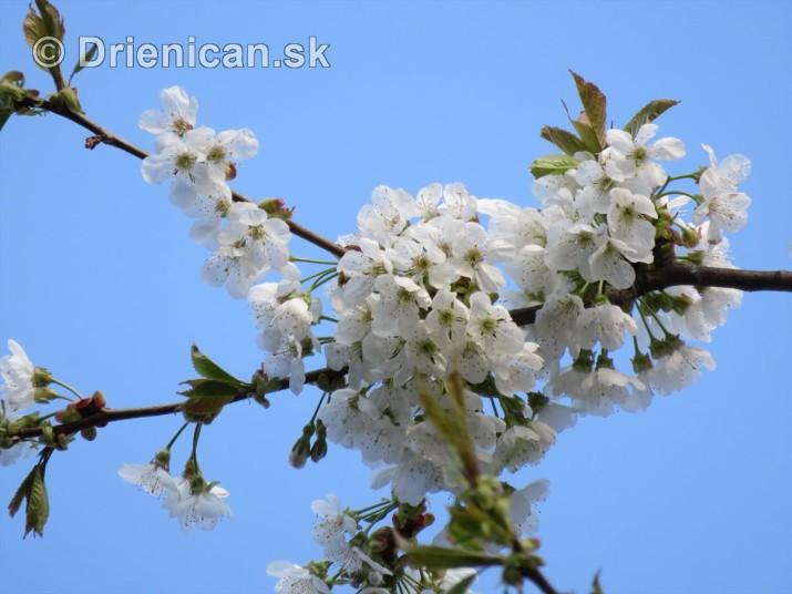 kvet ceresne_05