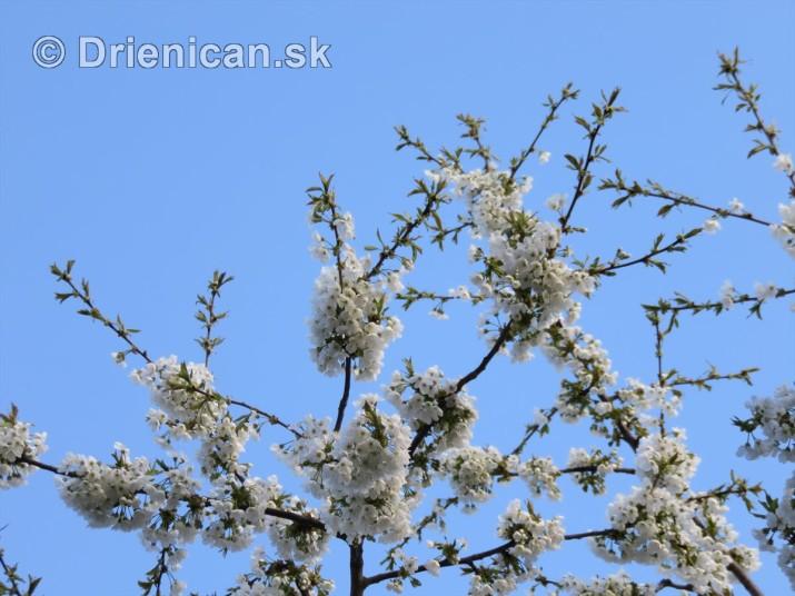 kvet ceresne_08