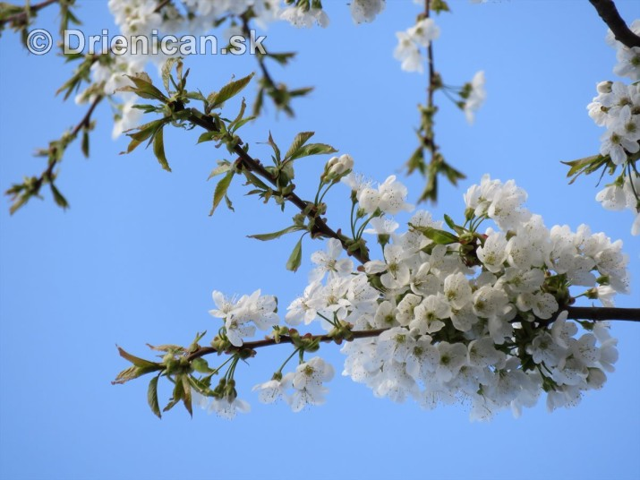 kvet ceresne_09