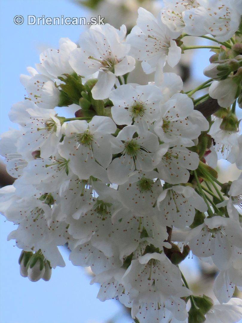kvet ceresne_10