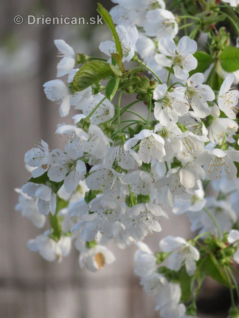 kvet ceresne_12