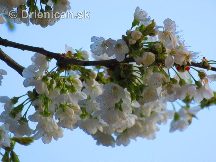 kvet ceresne_13