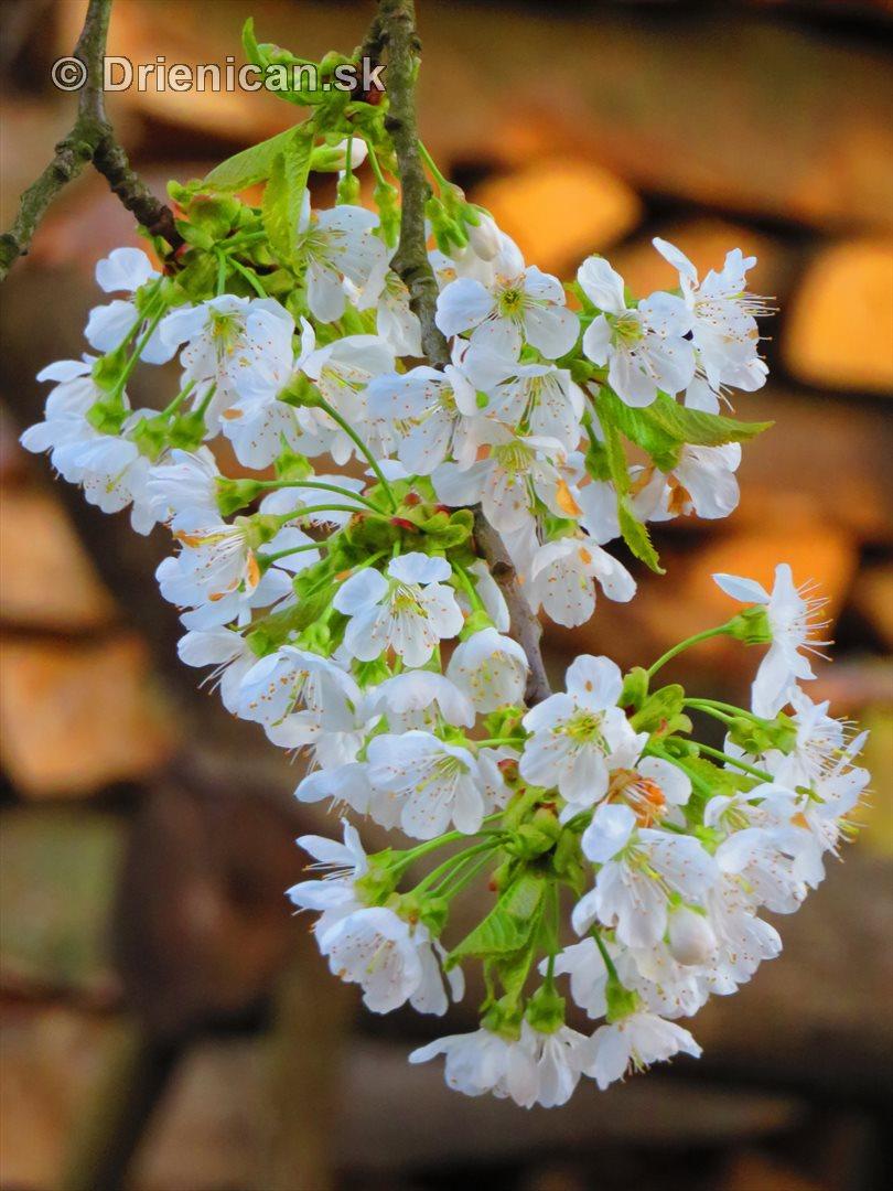 kvet ceresne_14