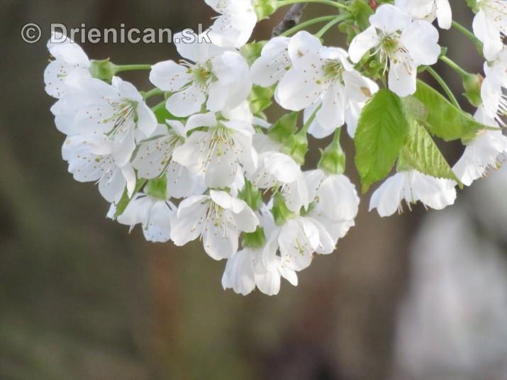 kvet ceresne_15