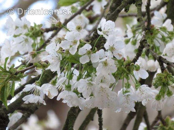 kvet ceresne_17