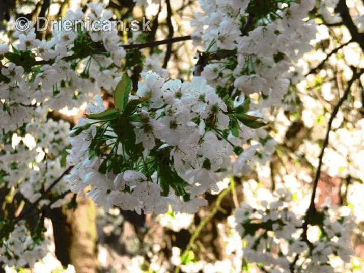 kvet ceresne_18