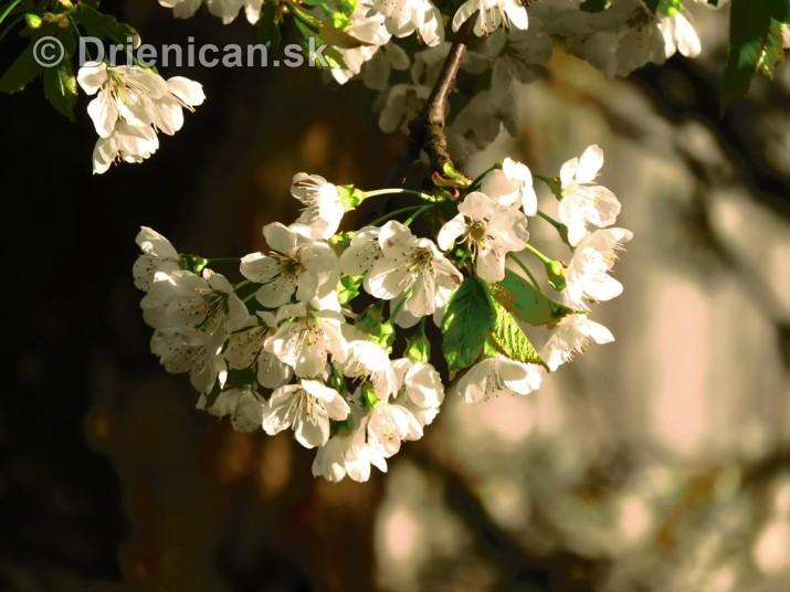 kvet ceresne_19