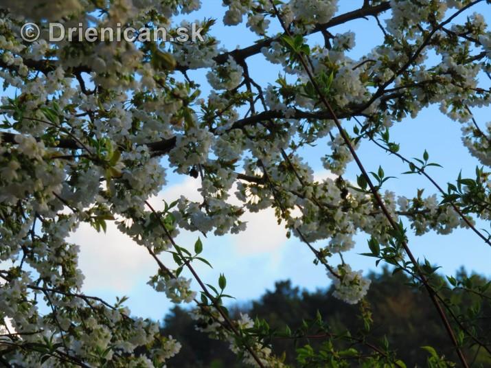 kvet ceresne_20