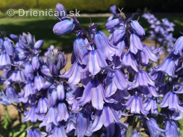 Modré zvončeky v záhrade...
