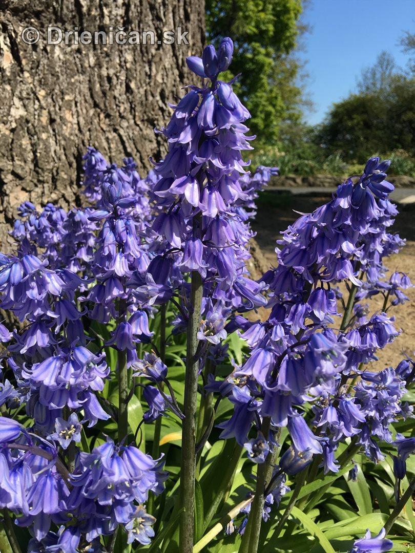 modre zvonceky v zahrade_02
