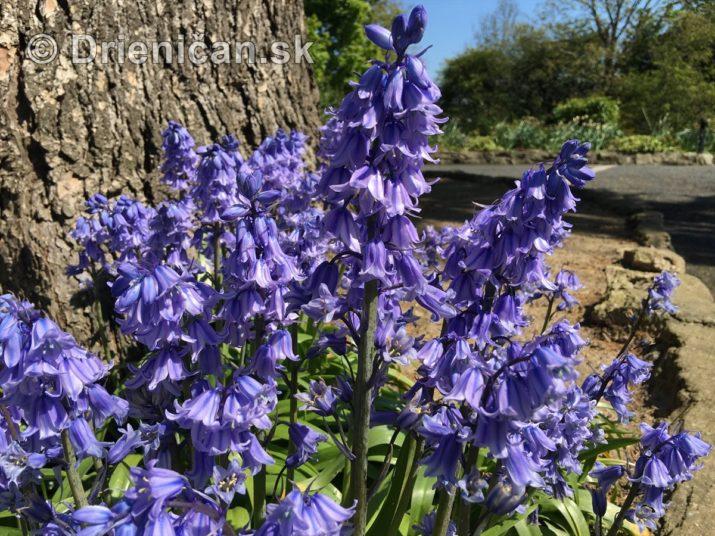 modre zvonceky v zahrade_03