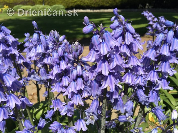 modre zvonceky v zahrade_04