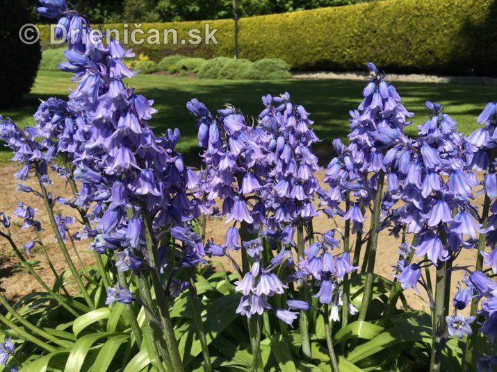 modre zvonceky v zahrade_06