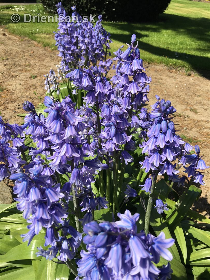 modre zvonceky v zahrade_08
