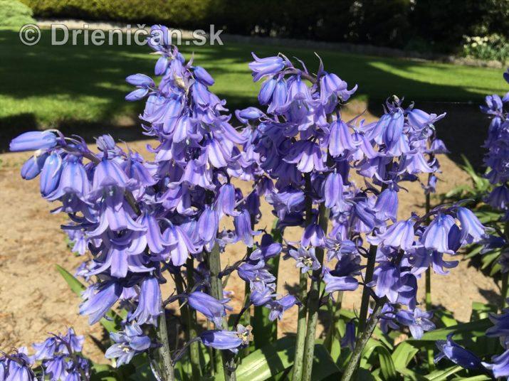 modre zvonceky v zahrade_10