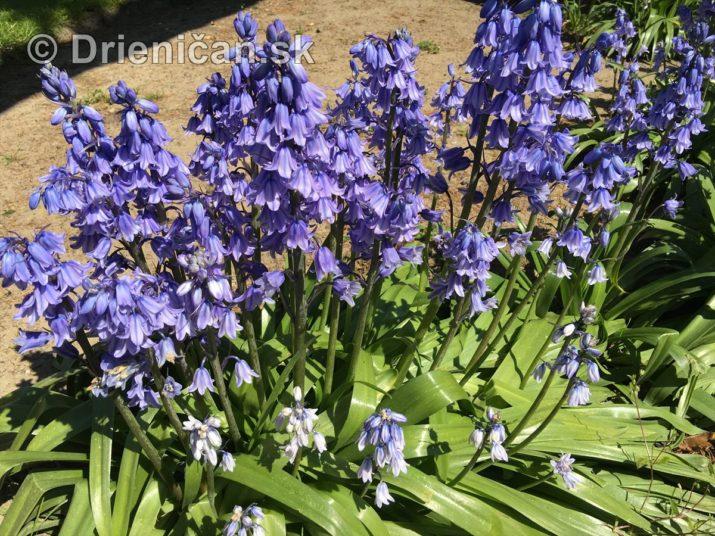 modre zvonceky v zahrade_11