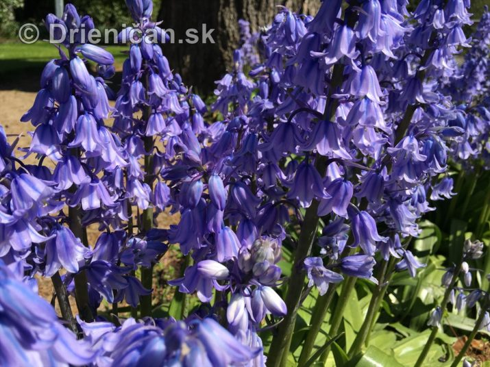 modre zvonceky v zahrade_13