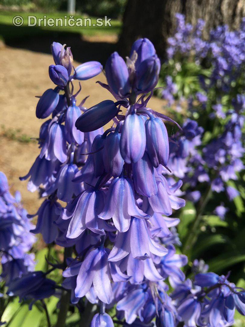 modre zvonceky v zahrade_14