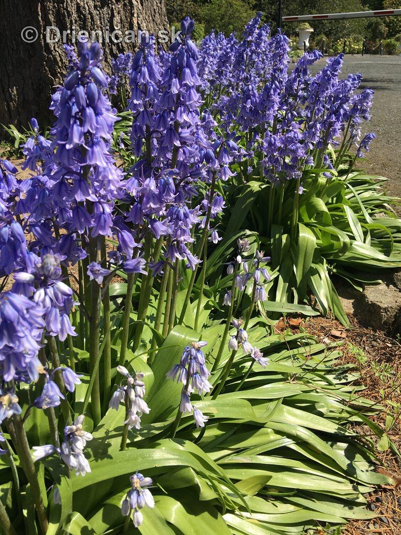 modre zvonceky v zahrade_15