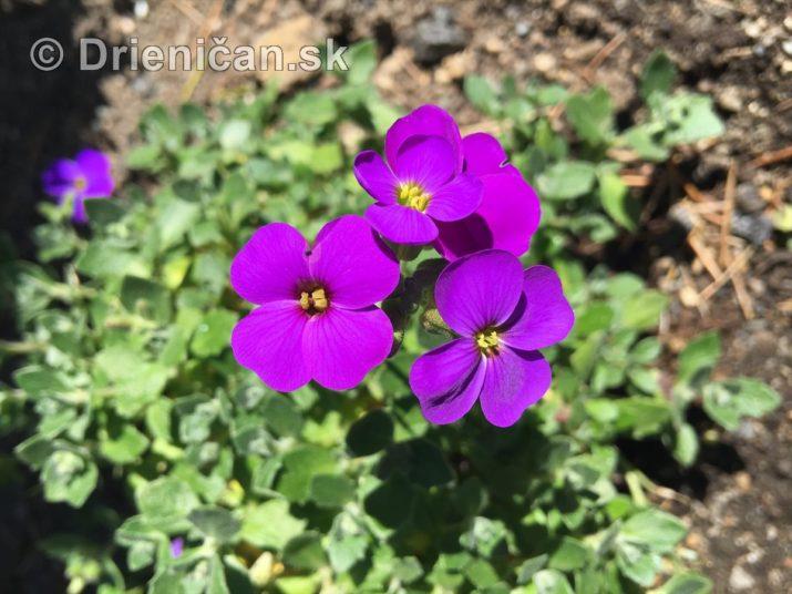 modre zvonceky v zahrade_16