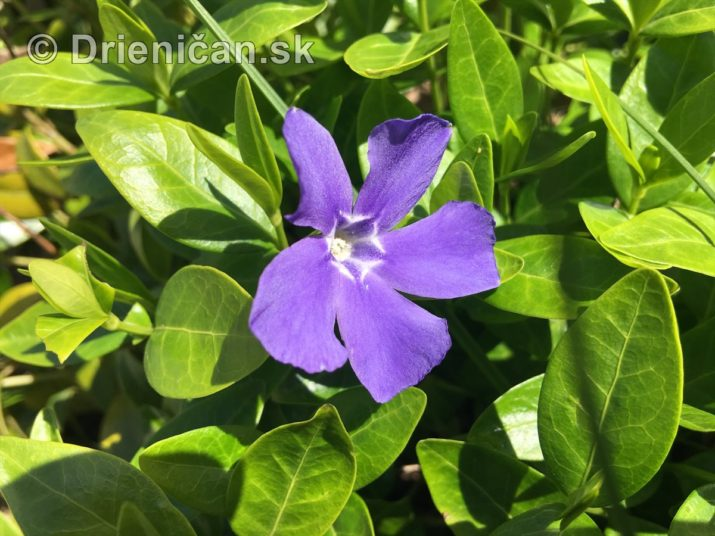 modre zvonceky v zahrade_19