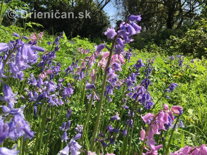 modre zvonceky v zahrade_22