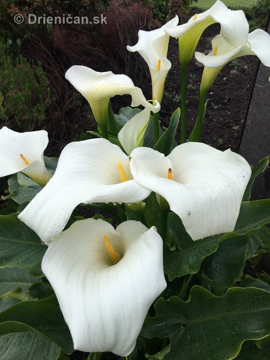 kornutovka africka-kala-calla lily_07
