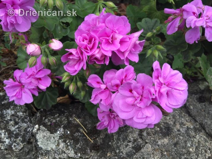 kym letne kvety odkvitnu_05