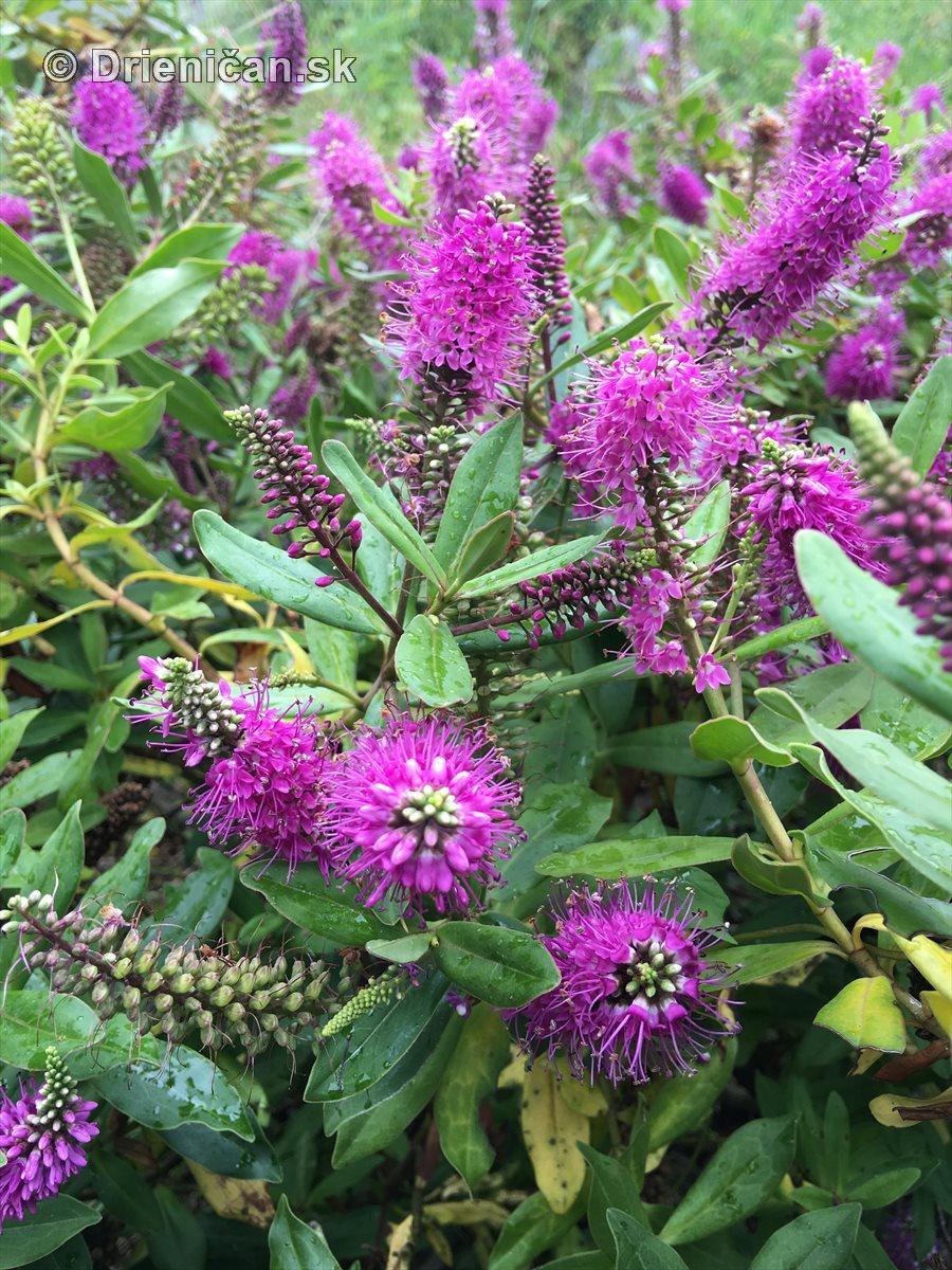 kym letne kvety odkvitnu_14