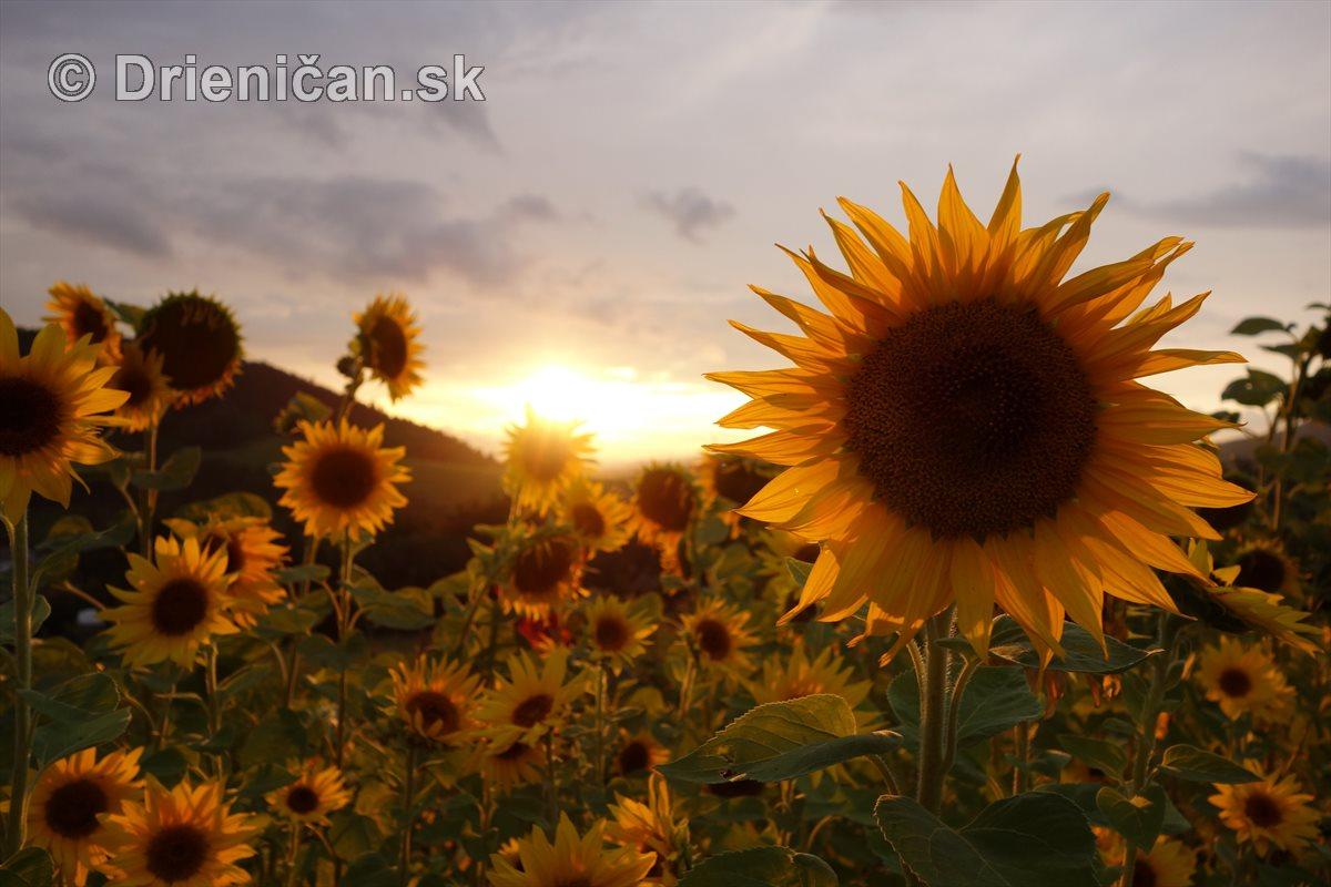 Slnečnice pri západe slnka