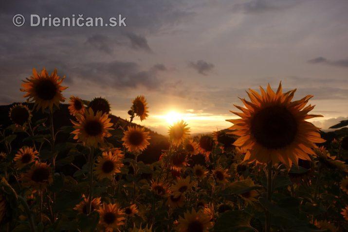 slnecnice pri zapade slnka_02