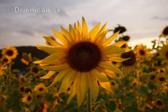 slnecnice pri zapade slnka_03