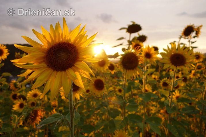 slnecnice pri zapade slnka_04