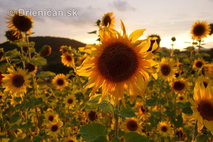 slnecnice pri zapade slnka_05