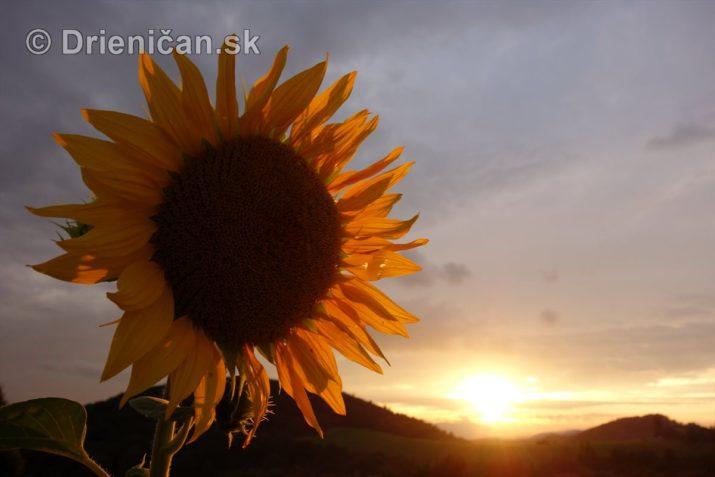 slnecnice pri zapade slnka_07