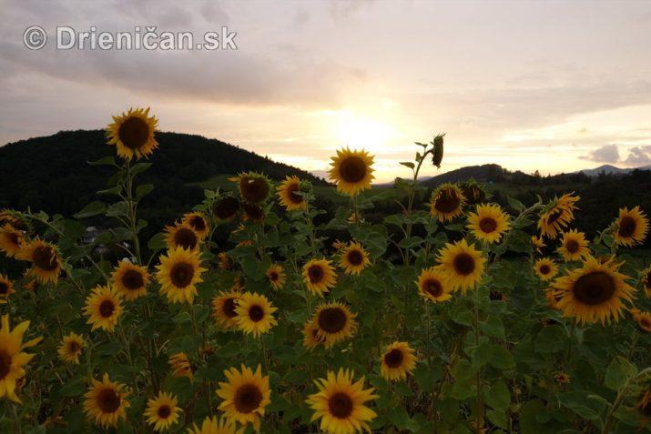 slnecnice pri zapade slnka_08