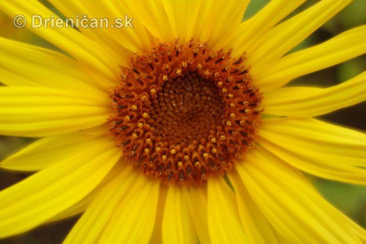 slnecnice pri zapade slnka_12
