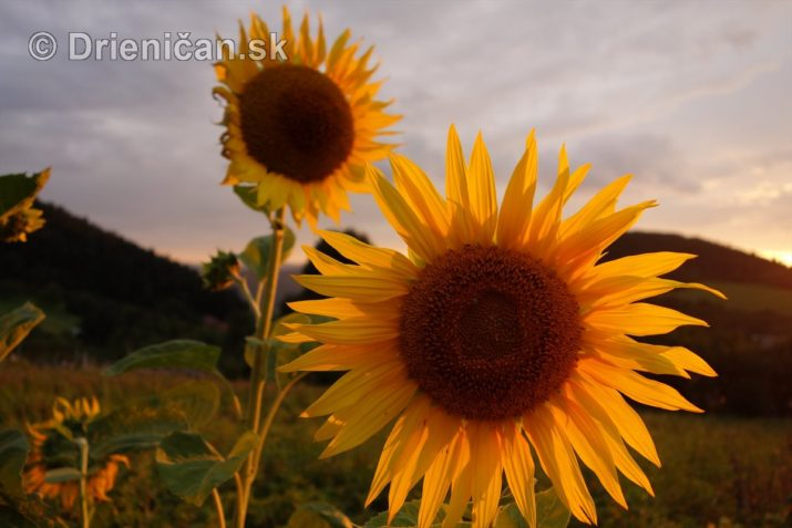 slnecnice pri zapade slnka_13