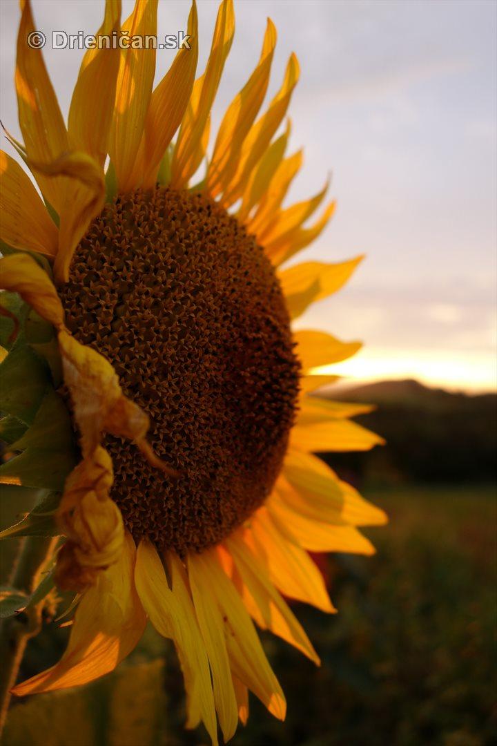 slnecnice pri zapade slnka_14