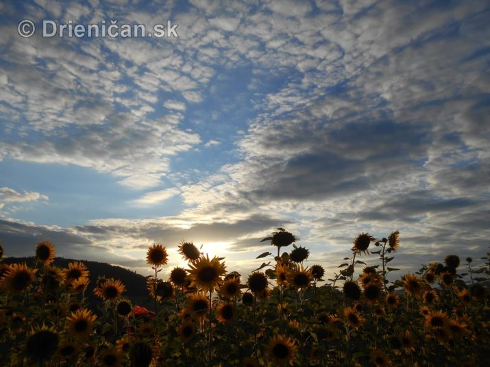 slnecnice pri zapade slnka_16